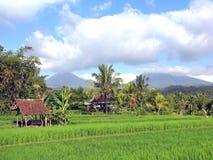 fields рис Стоковое Фото