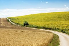 Fields. With wheat and sunflowers divided by a pathway Stock Photo