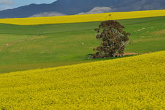 FIELDS ABLAZE. Canola fields near Caledon ,South Africa Stock Images