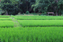 Fields adjacent to the forest. The paddy fields adjacent to the forest Stock Image