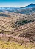Fields of Almond Trees Royalty Free Stock Photo