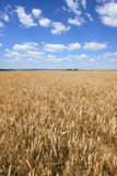Fields of barley Royalty Free Stock Photos