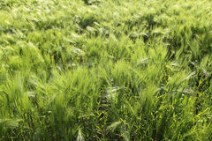 Fields of barley Stock Photography