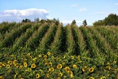Fields. Beautiful landscape of sunflower fields. Beautiful blue sky. Very colourful view Stock Image