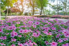 Fields of beautiful pink West Indian perwinkle petals on green glossy oval leafs under thr trees in the park stock photography