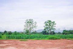 Fields with big tree and red soil Stock Photo