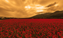 Fields of blood. A field filled with red flowers under a cloudy sky right before sunset Stock Image