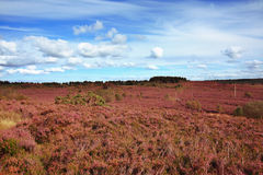 Fields of blooming heather in Scotland Royalty Free Stock Photo