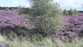 Fields of blooming heather, Scotland, HD footage. Fields of blooming heather in Scotland, HD footage stock video footage