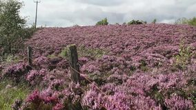 Fields of blooming heather, Scotland, HD footage. Fields of blooming heather in Scotland, HD footage stock footage