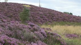 Fields of blooming heather in Scotland, HD footage. Fields of beautiful blooming heather in Scotland, HD footage stock footage