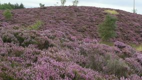 Fields of blooming heather in Scotland, HD footage stock video