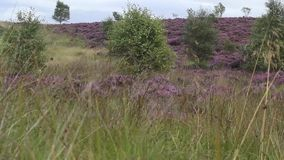 Fields of blooming heather in Scotland, HD footage stock video footage