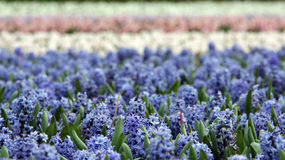 Fields of Blooming Hyacinth Flowers Stock Image