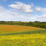 Fields with blooming rapeseed / poppies, Cotswolds Royalty Free Stock Photo