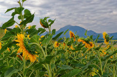 Fields with blooming sunflower stock image