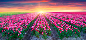 Fields of blooming white tulips at sunrise. Royalty Free Stock Photo