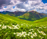 Fields of blossom flowers in the mountains. Stock Images