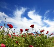 Fields of blossoming red anemones Royalty Free Stock Photo