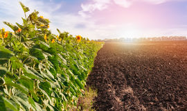 Fields with blossoming sunflower and arable land . Fields with blossoming sunflower and arable land in the background of sunset Royalty Free Stock Images