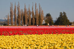 Fields of bright colored tulips Royalty Free Stock Photos