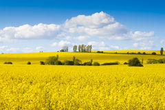 Fields of bright yellow rapeseed flowers. With hills and trees Royalty Free Stock Photos