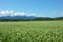 Fields of buckwheat. In full bloom in Hokkaido, Japan Royalty Free Stock Photography