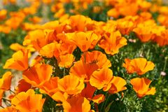 Fields of California Poppy during peak blooming time, Antelope Valley California Poppy Reserve.  Royalty Free Stock Images