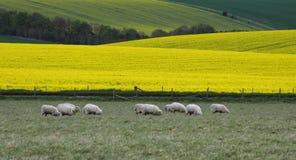 Fields of Canola Royalty Free Stock Photo