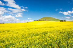 Fields of Canola in Australia Royalty Free Stock Photos
