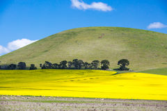 Fields of Canola in Australia Royalty Free Stock Photography