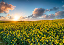 Fields of Canola in Bloom Stock Image