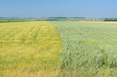 Fields with cereal crops  in central Ukraine Stock Image