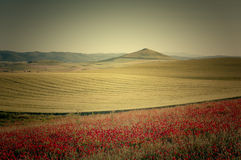 Fields of cereal and poppies Stock Images
