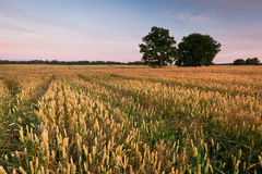 Fields of cereal Royalty Free Stock Images