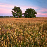 Fields of cereal Stock Images