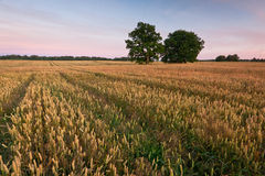 Fields of cereal Royalty Free Stock Photography