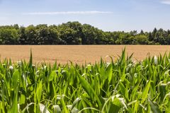 Fields of Cereals royalty free stock photo