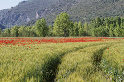 Fields of cereals and poppies Stock Photography