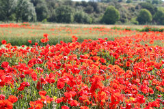 Fields of cereals and poppies Stock Photo