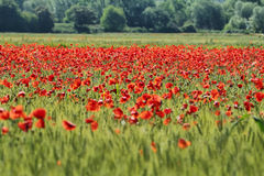 Fields of cereals and poppies Royalty Free Stock Photography