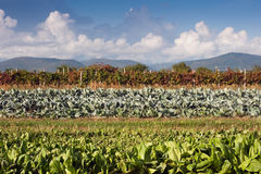 Fields of Chicory and Cabbage With Vineyard. Fields of Chicory and Cabbage  With Vineyard and Hills in Background Stock Images