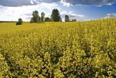 Fields of colza (rape) Stock Photography