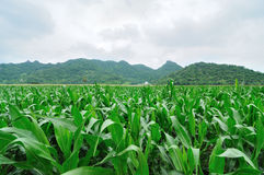 Fields corn. In The Lobburi of Thailand royalty free stock images