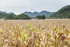 Fields of corn agricultural Royalty Free Stock Photos