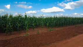 Fields of corn. Field of green corn farming farm blue skies food farmer agriculture agricultural Royalty Free Stock Photo