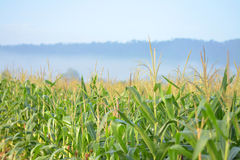 Fields of corn and fog fade in the morning. Royalty Free Stock Images