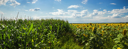 Fields of corn and sunflowers Stock Images