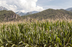 Fields with corn Stock Photo