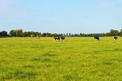 Fields and cows in Holland Royalty Free Stock Photos
